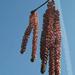 mogyoróvirág