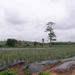 Ananász-ültetvény