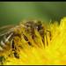 Virág poros munkás