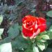 rózsa a kertemből