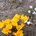 A tavaszi virágok a kertemben