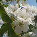 Album - cseresznye virága -orogna