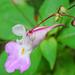 pillangóvirág 2
