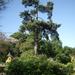 Párizs legöregebb fája