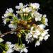 Este, cseresznyevirág-lesen