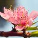 Öszibarack virág közelről