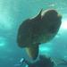 mola, avagy ocean sunfish