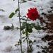 rózsa, decemberi piros