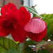 begónia, vörös hétköznapok