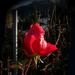 rózsa, egy őszi rózsa